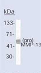 Immunoprecipitation - MMP13 antibody [LIPCO IID1] - BSA and Azide free (ab80734)