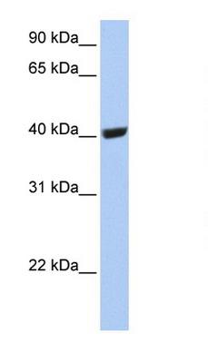 Western blot - Selenium Binding Protein 1 antibody (ab80868)