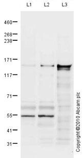 Western blot - LRPPRC antibody (ab80881)