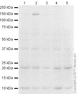 Western blot - Anti-IL23 P19 antibody (ab80893)