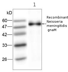 Western blot - gnaM antibody [4] (ab80915)