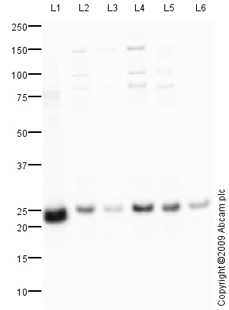 Western blot - PGRMC1 antibody (ab80941)