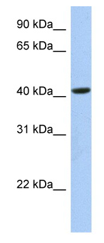 Western blot - FAM105A antibody (ab81078)