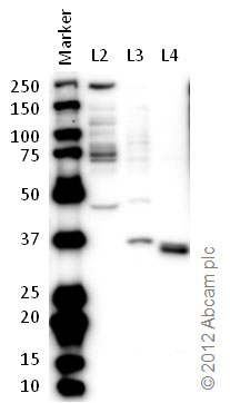 Western blot - Anti-MFF antibody (ab81127)