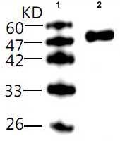 Western blot - Legionella pneumophila omp28 antibody [23] (ab81138)