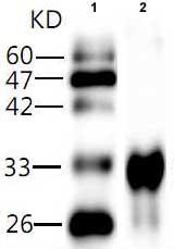 Western blot - Hepatitis A virus 2C antibody [8] (ab81139)