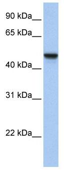 Western blot - APMAP antibody (ab81176)