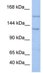 Western blot - BRPF3 antibody (ab81184)