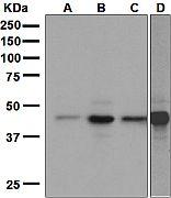 Western blot - BRN3A antibody [EP1972Y] (ab81213)