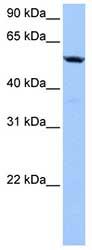 Western blot - C18orf54 antibody (ab81233)