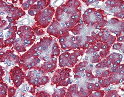 Immunohistochemistry (Formalin/PFA-fixed paraffin-embedded sections) - Anti-ZNF312B antibody (ab81251)
