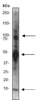 Immunoprecipitation - NEDD8 antibody [Y297] (ab81264)