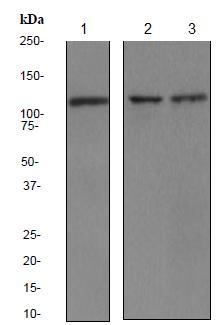 Western blot - PYK2 antibody [EP206Y] (ab81266)
