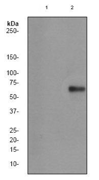 Western blot - beta Catenin (phospho T41 + T45) antibody [EP1905Y] (ab81305)