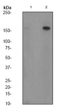 Western blot - SMC1 (phospho S966) antibody [EP2858Y] (ab81306)