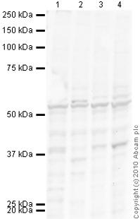 Western blot - RUNX2 antibody (ab81357)