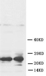 Western blot - Anti-FGF8 antibody (ab81384)