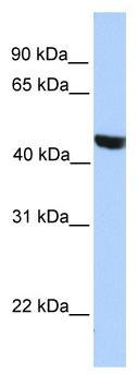 Western blot - MSL3L2 antibody (ab81431)
