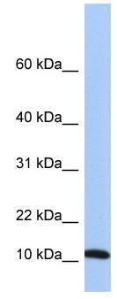 Western blot - FAU antibody (ab81442)