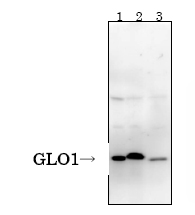 Western blot - GLO1 antibody [6F10] (ab81461)