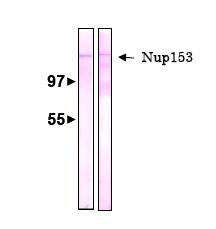 Western blot - Nup153 antibody [R4C8] (ab81463)