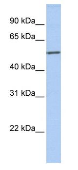 Western blot - ICA1 antibody (ab81500)