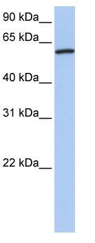 Western blot - Cortactin antibody (ab81508)