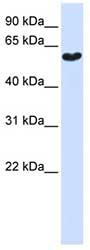 Western blot - Synaptotagmin 3 antibody (ab81538)