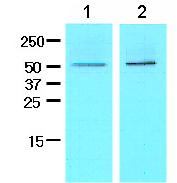 Western blot - Chromogranin A antibody [3A5] (ab81606)