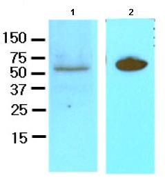 Western blot - Dact3 antibody [2A5] (ab81615)