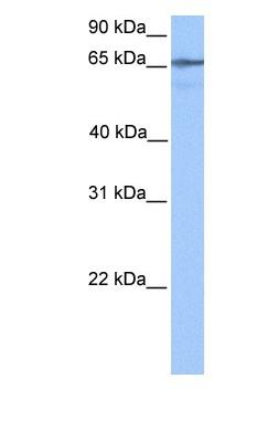 Western blot - LOC388553 antibody (ab81682)