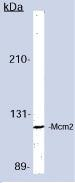 Western blot - MCM2 antibody [CRCT2.1] - BSA and Azide free (ab81706)
