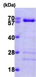 SDS-PAGE - Smad4 protein (His tag) (ab81764)