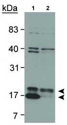 Western blot - Anti-LC3B antibody (Biotin) (ab81785)
