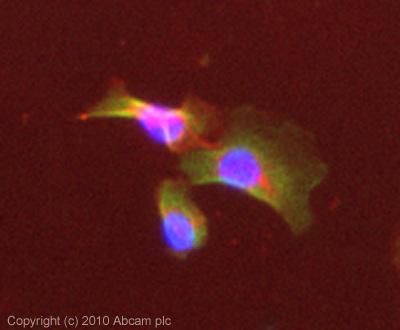 Immunocytochemistry/ Immunofluorescence - Puma gamma antibody (ab81825)