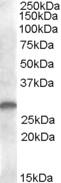 Western blot - CLEC1B antibody (ab81983)