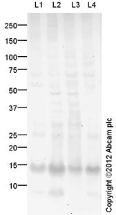 Western blot - Anti-SLPI antibody (ab82337)