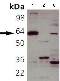 Western blot - Synaptotagmin 1 antibody (ab82414)