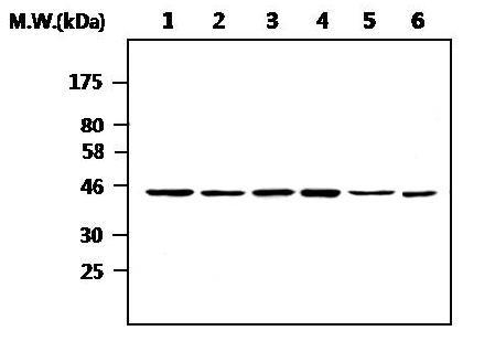 Western blot - CK1 epsilon antibody [AF6C1] (ab82426)