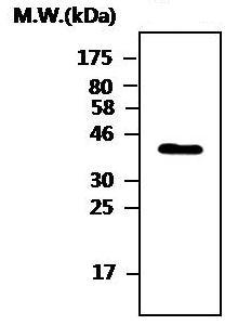Western blot - DUSP9 antibody [AF11B5] (ab82428)