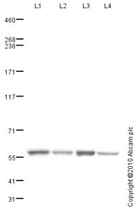 Western blot - TRAP220/MED1 antibody (ab82461)