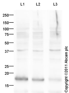 Western blot - Histone H3 (acetyl K14) antibody (ab82501)