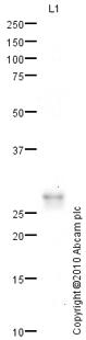 Western blot - Dynorphin A antibody (ab82509)
