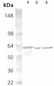 Western blot - Hsp60 antibody (ab82513)