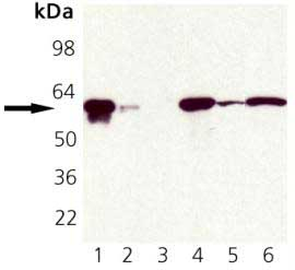 Western blot - Hsp60 antibody (ab82520)