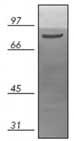 Western blot - Hsp90 beta antibody [K3705] (ab82522)