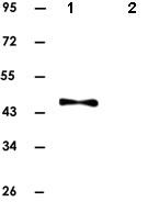 Western blot - MEK1 antibody [7F1] (ab82544)