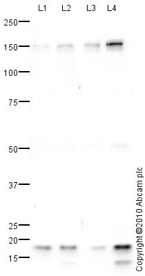 Western blot - HDAC6 antibody (ab82557)