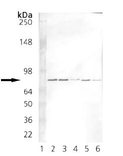 Western blot - Grp75 antibody [30A5] (ab82591)