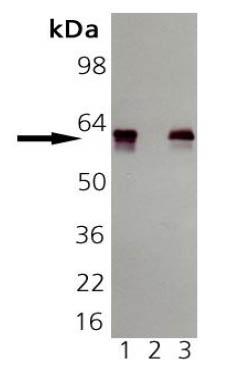 Western blot - groEL antibody [9A1/2] (ab82592)